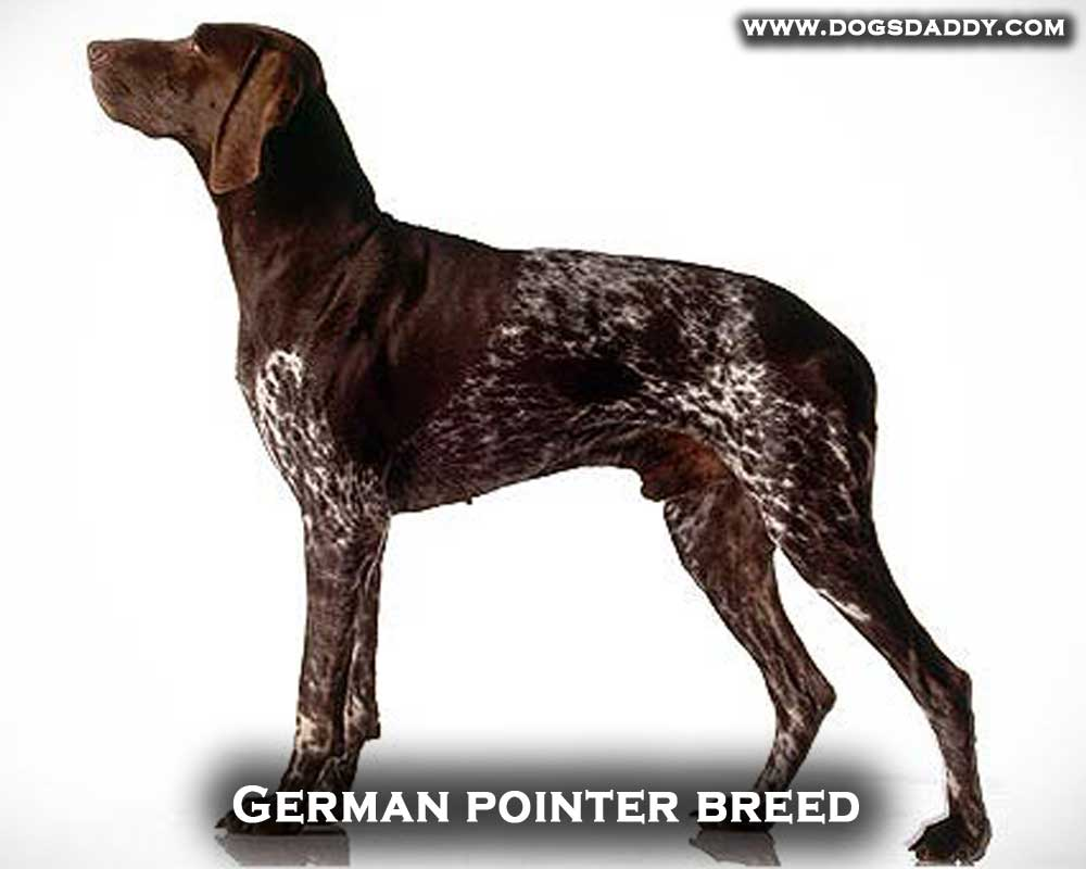 German pointer breed